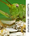 Small photo of long-horned grasshopper (Tettigonia cantans)
