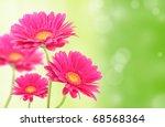 Gerbera Flowers On Green Shiny...