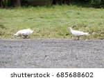 Three White Pigeon Looking For...