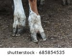 Brown And White Cow's Hooves In ...