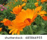 Flowers Of Pot Marigold ...