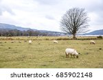 sheep in wales  uk. | Shutterstock . vector #685902148
