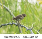 medium ground finch  perched on ...   Shutterstock . vector #686060542