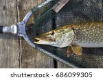 Northern Pike ( Esox Lucius ) captured in a landing net