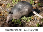 Nine Banded Armadillo Digging...