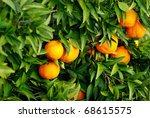 Mature tangerines on tree. - stock photo
