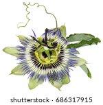 passiflora caerulea  common... | Shutterstock . vector #686317915
