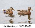 Two Young Female Mallard Duck...