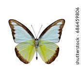 Small photo of Chocolate Albatross (Appias lyncida vasava) fine pale yellow with brown edge butterfly upper part wings in natural color details isolated on white background