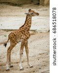 Stock photo little giraffe 686518078