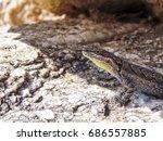 a lizard hiding from the... | Shutterstock . vector #686557885