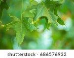 Oriental Plane Tree Leaves And...