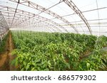 green pepper grown in... | Shutterstock . vector #686579302
