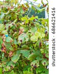 Small photo of The vineyard is affected by fungal disease, downy Mildew, false mildew ( Plasmopara viticola )