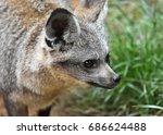 profile of the bat eared fox ... | Shutterstock . vector #686624488