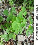 Small photo of common wood sorrel, Oxalis acetosella