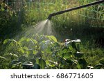spraying rose shrub against... | Shutterstock . vector #686771605