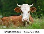 close brown cow on a summer... | Shutterstock . vector #686773456
