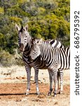 Zebra Rubbing Against The Othe...
