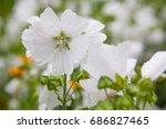 white flower malva moschata... | Shutterstock . vector #686827465