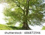 aphananthe aspera  hyougo... | Shutterstock . vector #686872546