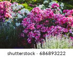 beautiful fresh pink roses and... | Shutterstock . vector #686893222