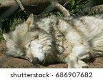 sleeping gray wolf   Shutterstock . vector #686907682