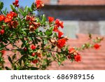 branch of pomegranate tree with ... | Shutterstock . vector #686989156