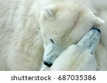 two polar bears fighting on...   Shutterstock . vector #687035386