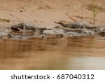 indian gavial in the nature... | Shutterstock . vector #687040312