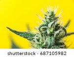 plant cannabis  marijuana... | Shutterstock . vector #687105982