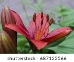 red asian lily in the garden | Shutterstock . vector #687122566