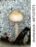 Small photo of Hallucinogenic mushroom Psilocybe semilanceata