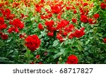 Stock photo green field full of red wild roses 68717827