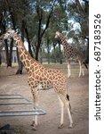 giraffe eating.   Shutterstock . vector #687183526