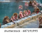 Snow Monkeys  Japanese Macaque...