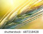 Drops of dew on a young wheat ear close-up macro in sunlight  . Wheat ear in droplets of dew in nature on a soft blurry gold background  - stock photo