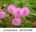 sensitive plant or mimosa... | Shutterstock . vector #687299488