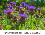 Cardoon Plant  In Bloom. Wild...