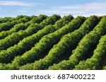 stunning landscape with olive... | Shutterstock . vector #687400222