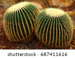 Golden Barrel Cactus Or...