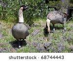Hawaiian Goose - Nene - stock photo