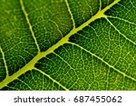 green leaf texture through by... | Shutterstock . vector #687455062