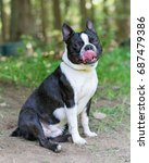 Small photo of Adult Male Boston Terrier panting on a hot summer day