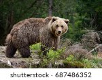 big brown bear in the forest | Shutterstock . vector #687486352