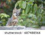 a cute and cuddly juvenile grey ... | Shutterstock . vector #687488566