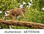 female baboon walking on a tree ... | Shutterstock . vector #687555646