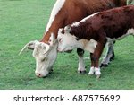 hereford cow  bos taurus  with... | Shutterstock . vector #687575692