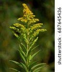 solidago gigantea   goldenrod ... | Shutterstock . vector #687645436