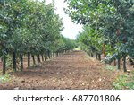row of cherry in orchard. good... | Shutterstock . vector #687701806